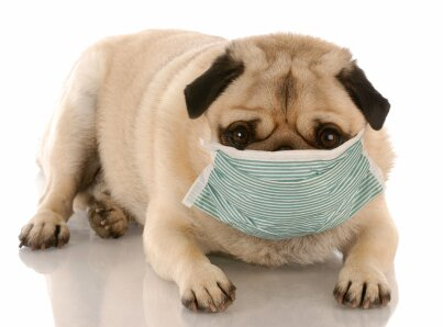 sick or contagious pug wearing a medical mask