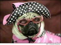 мопс с очила