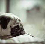 тъжен мопс