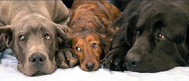 агресивни кучета