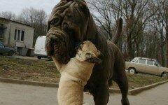 Мопсчето ближе ушите на другите кучета
