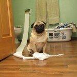 мопс яде хартия